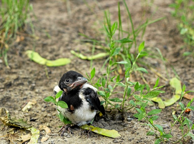 En fugleunge er ikke nød, selv om den sidder på jorden. Dens mor er lige i nærheden og har helt styr på den. Foto: Dyrenes Beskyttelse Ilona Tymchenko / Alamy Stock Photo