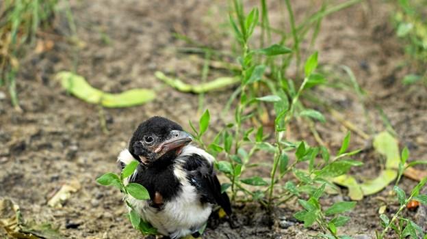 Småfugleunger er den dyreunge, som Dyrenes Beskyttelses Vagtcentral 1812 fik flest henvendelser om sidste år. Men omkring halvdelen var slet ikke nød, selv om de sad på jorden. Foto: Dyrenes Beskyttelse.