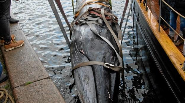 Skipper Peter Leth (rød jakke) og mandskabet på Valkyrien lægger an til til at lodse hvalen.                   Foto: Renè Bruno Nielsen RENE BRUNO Nielsen