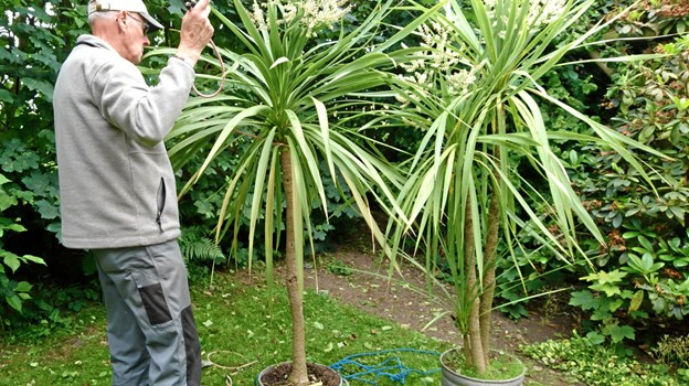 Så høje er palmerne, som Ole Pedersen har haft i 20 år, og som i år blomstrer.