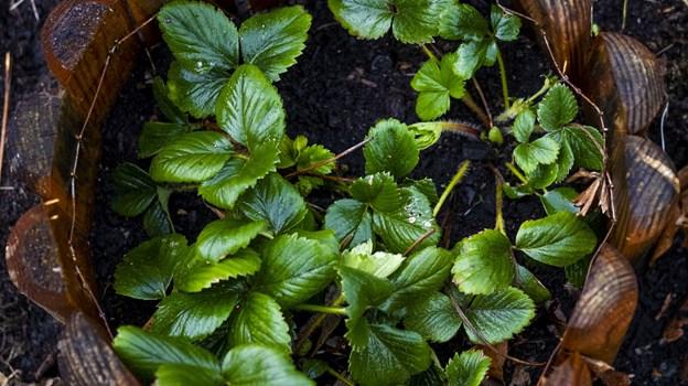 Haverne er næsten lige så mangfoldige, som de, der har dem - jordbær er dog en populær plante. Foto: Lasse Sand