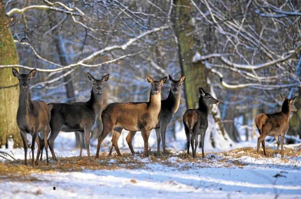 Fra torsdag den 10. januar og måneden ud foretages regulering af hjortebestanden i Slotved Dyrehave. Reguleringen er nødvendig for at sikre en sund bestand samt at sikre, at dyrene kan overleve en hård vinter. Foto: P. Lassen P. Lassen