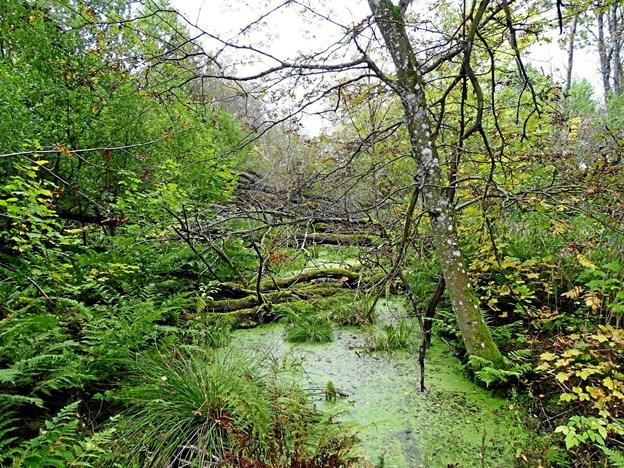 Birkeskov på vejen op til Kællingbjerg Klint. Foto: Jørgen Jensen