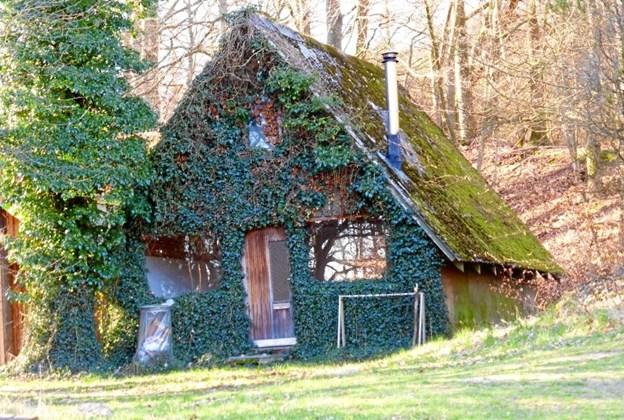 Et hus på Djursland det er grønt af Efeu. Foto: Kirsten Bombæk