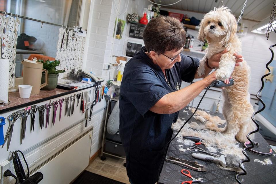 Trimmeren snurrer, og det tager cirka halvanden time at ordne den lille hund. © Lars Pauli