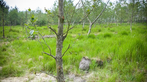 Det er vigtigt at plante træer af hensyn til CO2 regnskabet. Foto: Bo Lehm