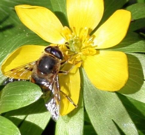 Så kom foråret årets første bi i en erantis 27. februar 2019. Foto: John Larsen
