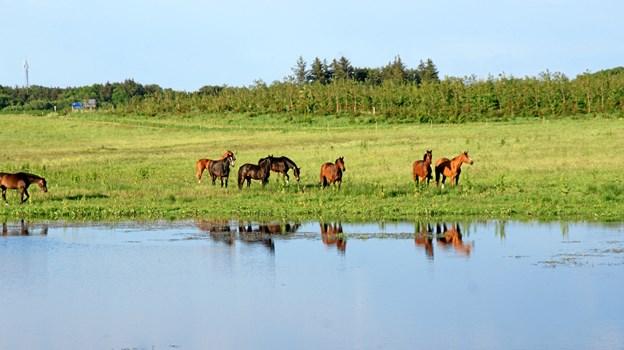 Heste og kreaturer sørger for, at søen ikke omkranses af siv og rør, så vandrerne ikke kan se vandet fra stien. Privatfoto
