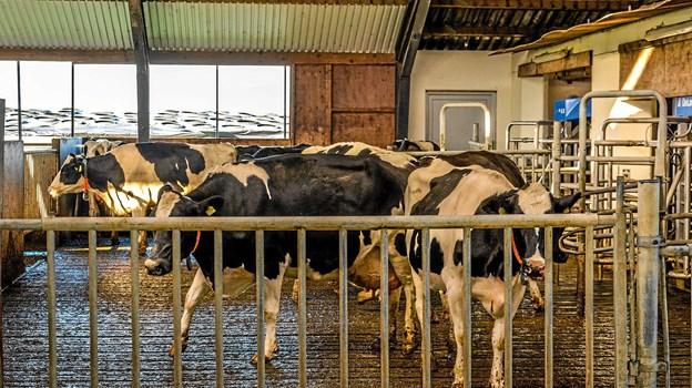 Køerne ses her foran mælkeanlægget. Foto: Mogens Lynge