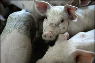 Landmænd skruer ned for antibiotika men når ikke i mål