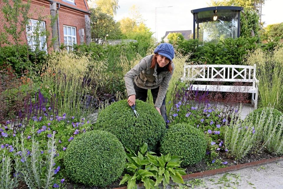 Havearkitekt Jeanette Thysen under klargørelse af indvielse af Haven i Hammel og klipning af 14 kuglebuksbom.