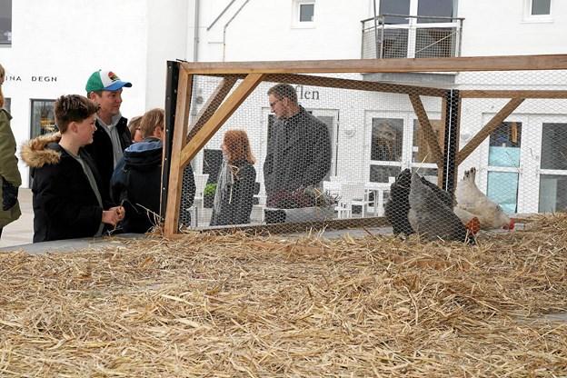 Scenen i Blokhus blev indtaget af høns og ænder. Foto: Flemming Dahl Jensen