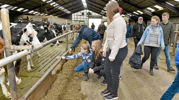 Eleverne fra Østre Skole kom tæt på øko-køerne i stalden på Øster Skaarup. Foto: Ole Iversen