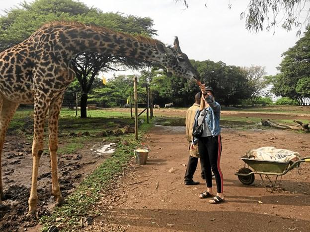 Anne fodrede dyreparkens giraf - og kom på tæt hold med de graciøse dyr. Privatfoto.