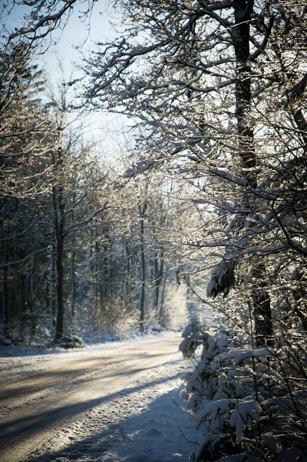 Det er i den - på dette foto - smukt sneklædte Sindbjerg Plantage, der er hundeskov. Arkivfoto: Bo Lehm.