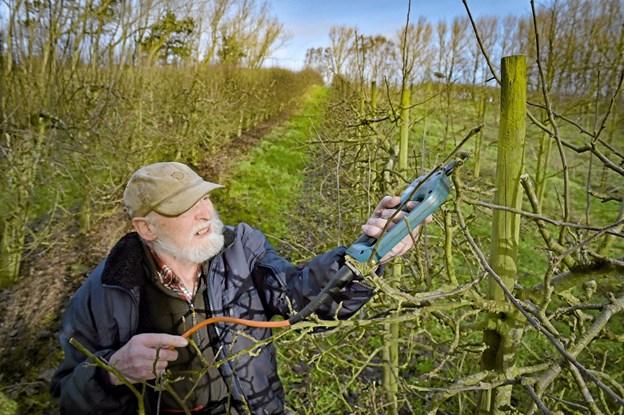 Karsten Klitø Fritzner er i gang med den sidste klipning i den sidste regulære sæson i Gravenhøj Frugtplantage i Dover. Foto: Ole Iversen