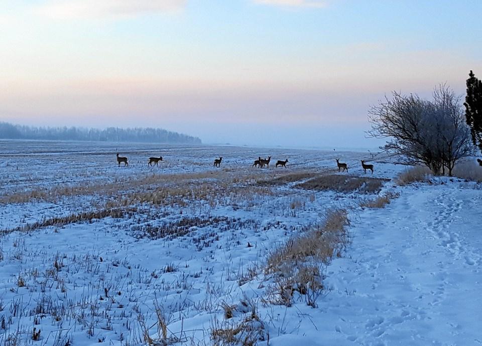 Rådyr en tidlig vintermorgen ved Brønderslev. Foto: John Larsen