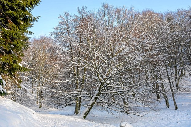 Træerne hælder lidt både til den ene og anden side, og sneen dækker et ellers vådt område. Foto: Niels Helver Niels Helver