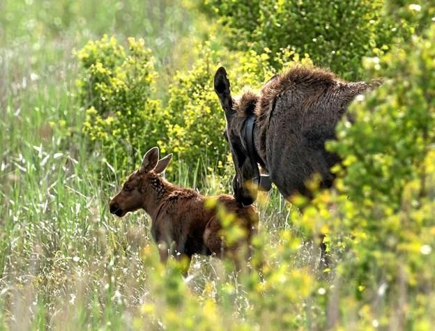 Tag med på udkig efter områdets elge og de nyfødte elgkalve.? Foto: Frans Ritter