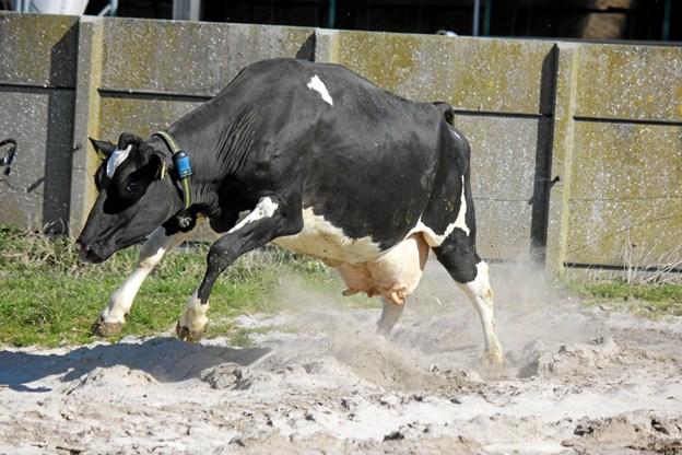 Køerne var glade for at komme ud. Foto: Flemming Dahl Jensen
