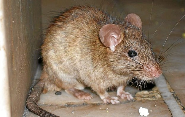 Der er blevet indfanget fem rotteunger i Aalborg Havnebad i løbet af én uges tid. Arkivfoto: Flemming Hvidtfeldt