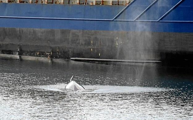 En vågehval hører til den mindste af bardehvalerne, men kan ikke desto mindre vokse sig op til 10 meter lang og veje op mod 10 ton.