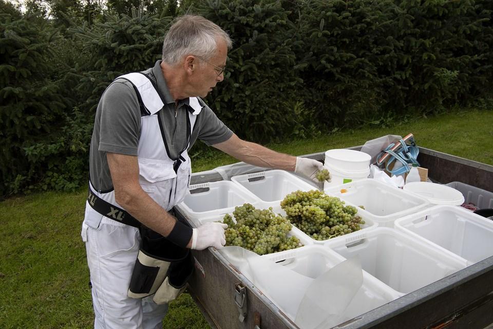Den varme sommer og et mildt og tørt forår har givet usædvanligt gode betingelser for en fin vinhøst. De hvide druer blev plukket i denne uge.