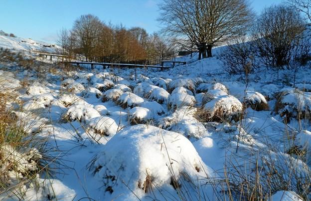Snedækkede græstuer i Søheden Skov/Lunken.Foto: Mogens Ingemannsen