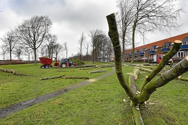 Nogle af træerne køres væk i otte meter lange tilsavede stykker, der bliver legetræer i børneinstitutioner. Foto: Ole Iversen Ole Iversen