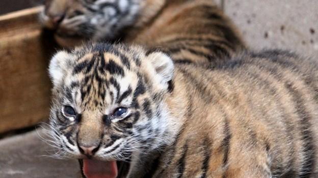 Selv om de kun er få uger gamle, kan du allerede nu være heldig at få et glimt af de to unger. Foto: Aalborg Zoo