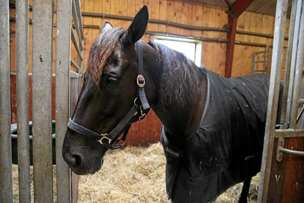 Hesten Slide So Easy blev Danmarksmester og deltog i det uofficielle VM for travheste som blev kørt den 13. oktober på Yonkers Raceway i New York. Foto: Flemming Dahl Jensen Flemming Dahl Jensen