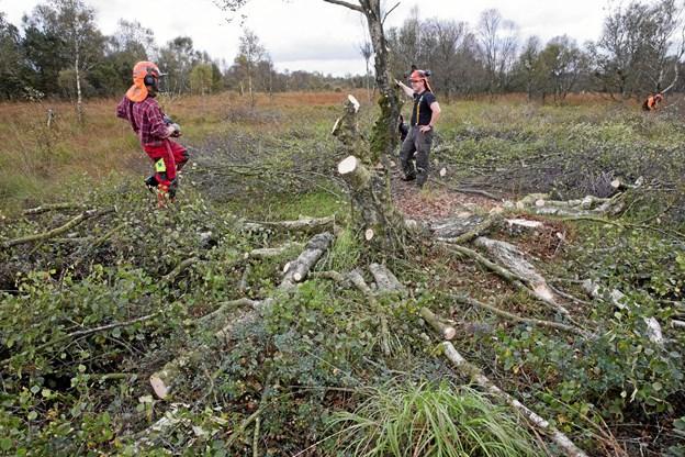 Træfældning i Råbjerg Mose.Privatfoto