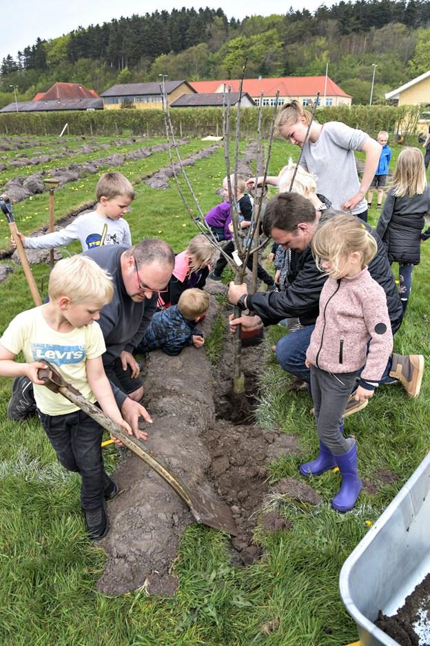 Børnene var ellevilde med at få lov til at hjælpe de mange træer i den nye børneskov. Her er de ved at få et af de store frugttræer i jorden med hjælp fra Søren Pedersen og Mathias Jensen. Foto: Bent Bach