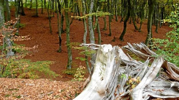 Gammel trærod i forfald i Sønderskov, del af Rold skov. Foto: Mogens Ingemannsen