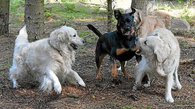 Hundene leger godt sammen, selvom det til tider ser voldsomt ud. Foto: Niels Helver