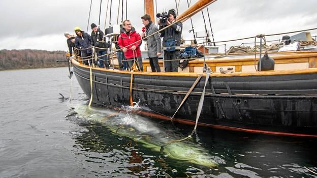 Hvalen var sikkert fasttøjret langs bagbords side på Valkyrien.      Foto: Renè Bruno Nielsen