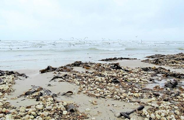Opskyl på stranden af skaller fra Almindelig Sømus. Foto: Kirsten Olsen