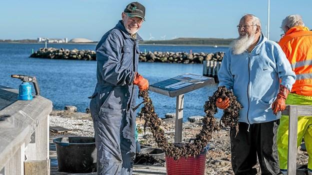 Her er det muslinger, som så skal sorteres og de små udsættes igen til næste år. Foto: Mogens Lynge