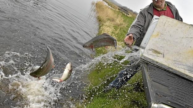 Med udsætningen er put-and take sæsonen i gang. Foto: Ole Iversen Ole Iversen
