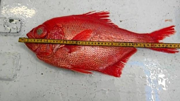 Den mystiske fisk.    Foto: Nordsøen Oceanarium