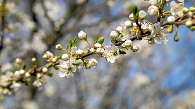 Allerede nu ses blomstrende æbletræer. Foto: Niels Helver