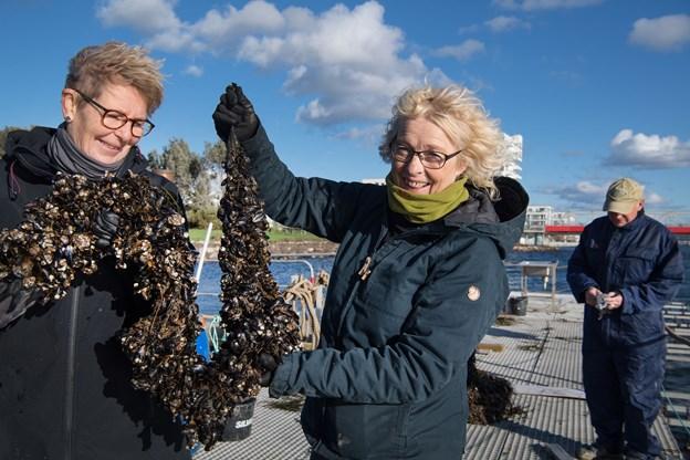 """Tine Bock, til højre, tjekker sammen med Mette Ruge én af de såkaldte """"strømper"""" for blåmuslinger. Arkivfoto: Hans Ravn"""