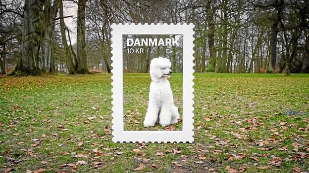 """Fem hunde skal nu nomineres til Danmarks næste """"Frimærkehund"""".Foto: PostNord Ole Iversen"""