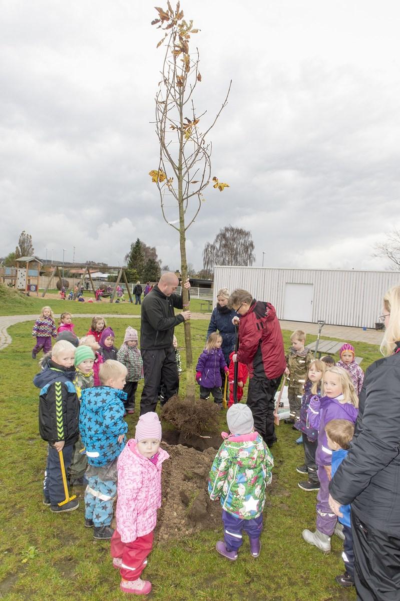 Der måtte store stærke voksne til for at plante det nye kastanjetræ. Foto: Kim Dahl Hansen