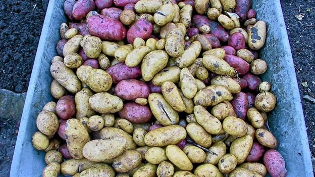 Nu er der snart kartoffelferie. Så skal kartoflerne op, sorteres, renses for jord og opbevares køligt og mørkt.