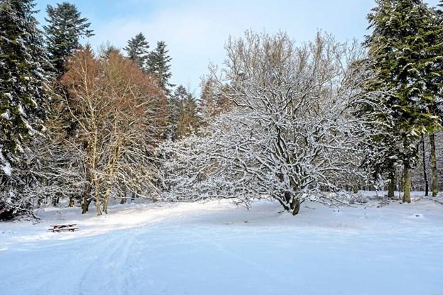 """""""Sparekassetræet"""" på Fredes Plads er flot året rundt, og når grenene er dækket med sne lyser det op i den mørke tid. Foto: Niels Helver"""