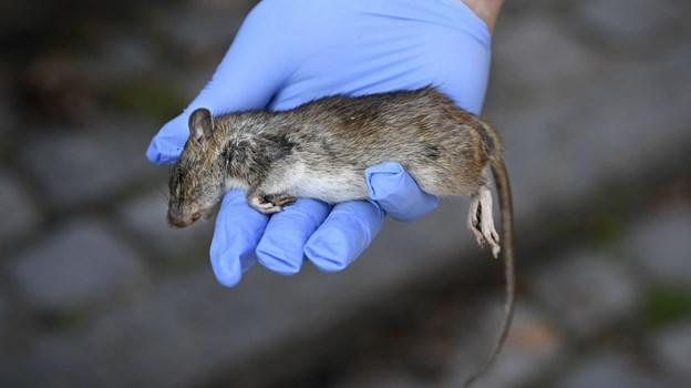 Rotter er naturligvis uønskede gæster i havnebadet, og der er arbejdet ihærdigt på at slå så mange rotter som overhovedet muligt ihjel. Arkivfoto: Mette Nielsen