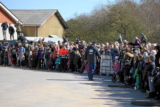 Der var over 2.000 tilstede for at se køerne blive lukket ud. Foto: Flemming Dahl Jensen Flemming Dahl Jensen