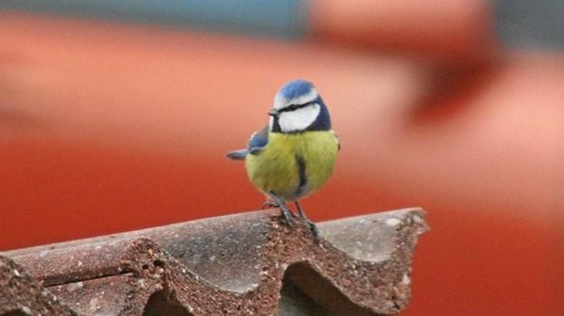 En lille musvit er køn at kigge på. Foto: T.F.
