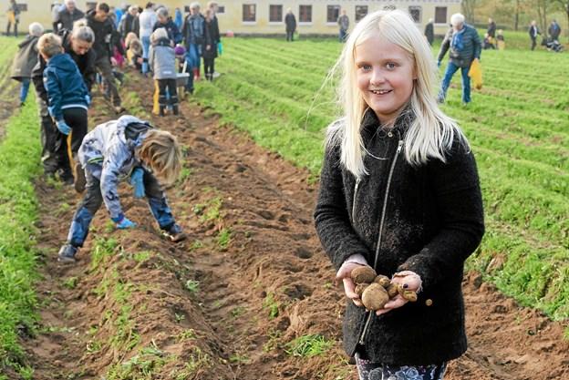 Camilla fra Astrup var så ivrig efter at samle kartofler, at hun glemte sækken til kartoflerne. Foto: Niels Helver